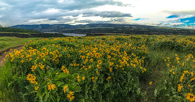 Fields of Wildflowers in Columbia gorge