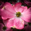 Pink Dogwood photo