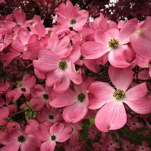 Pink Dogwood photo