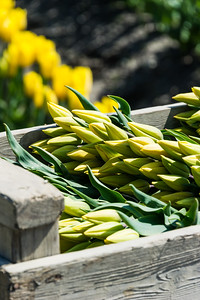 Beautifull tulips ready for picking in La Conner Wash.