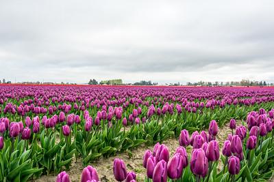 Commercial Tulip farm near La Conner during anual Tulip Festival in April and May, La Conner Washington.USA