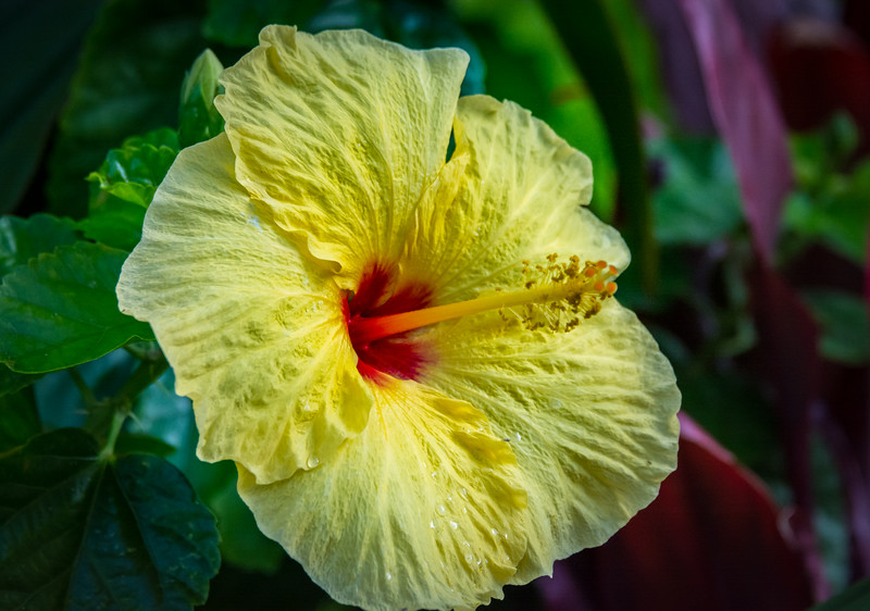 Hibiscus is a genus of flowering plants in the mallow family, Malvaceae. The genus is quite large, comprising several hundred species that are native to warm-temperate, subtropical and tropical regions throughout the world.