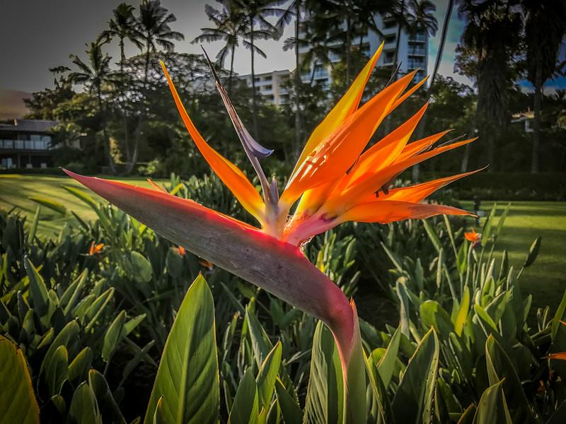Bird of Paradise flower along the boardwalk in Maui.
