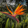 Bird of Paradise flower along the boardwalk in Maui.
