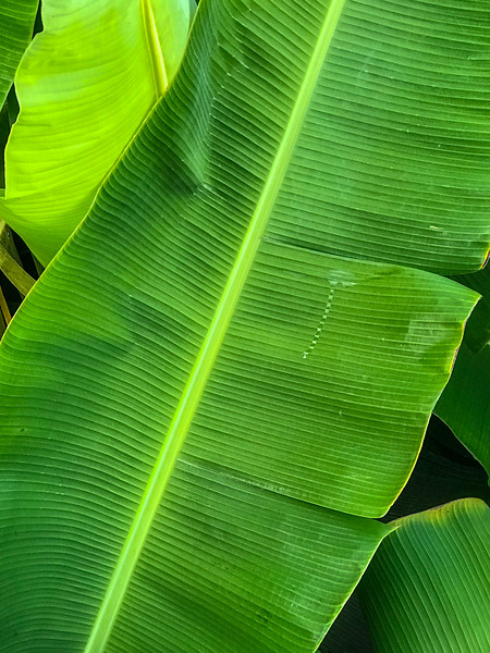 Lush green leaf along the Maui boardwalk