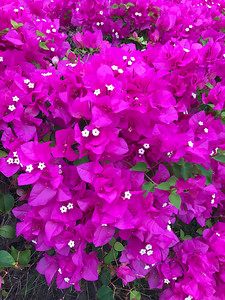 Bougainvillea is a genus of thorny ornamental vines, bushes, and trees with flower-like spring leaves near its flowers. Different authors accept between four and 18 species in the genus.