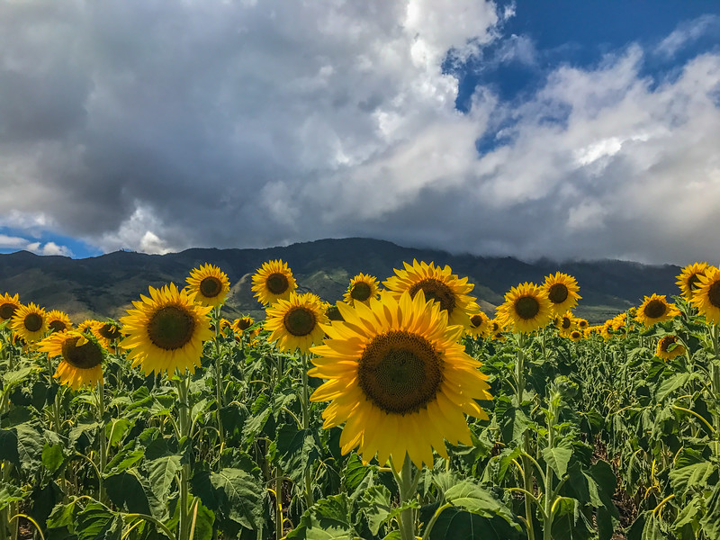 Sunflowers ready for Bioe fuel