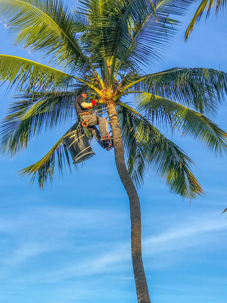 Trimming the coconut trees along the boardwalk in Maui.