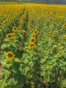 Sunflowers ready for Bioe fuel