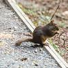 Frisky Douglas squirrel found in Campbell Valley Regional Park, Metro Vancouver
