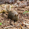 Douglas squirrel eats seeds in Campbell Valley Regional Park, Metro Vancouver