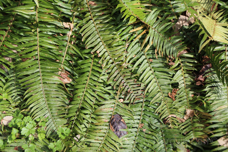 Ferns grow in a west coast rainforest