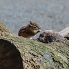 Playful Red-Tailed Chipmunks in Campbell Valley Regional Park, Metro Vancouver