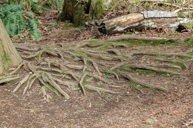 Exposed tree roots in a west coast forest