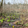 A mass of a skunk cabbage bloom in the wetlands of a west coast forest