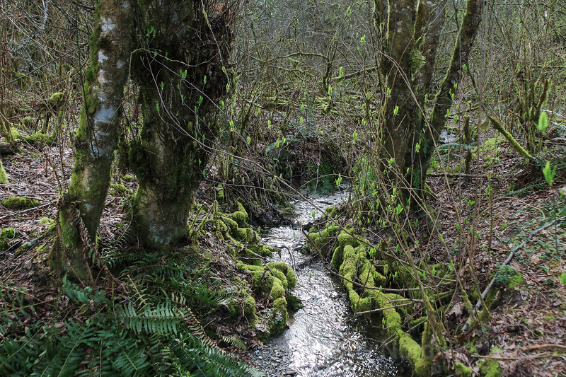 Moss grows along a stream in the marshy woodlands of a west coast forest
