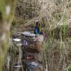 Ducks in a marshy woodland