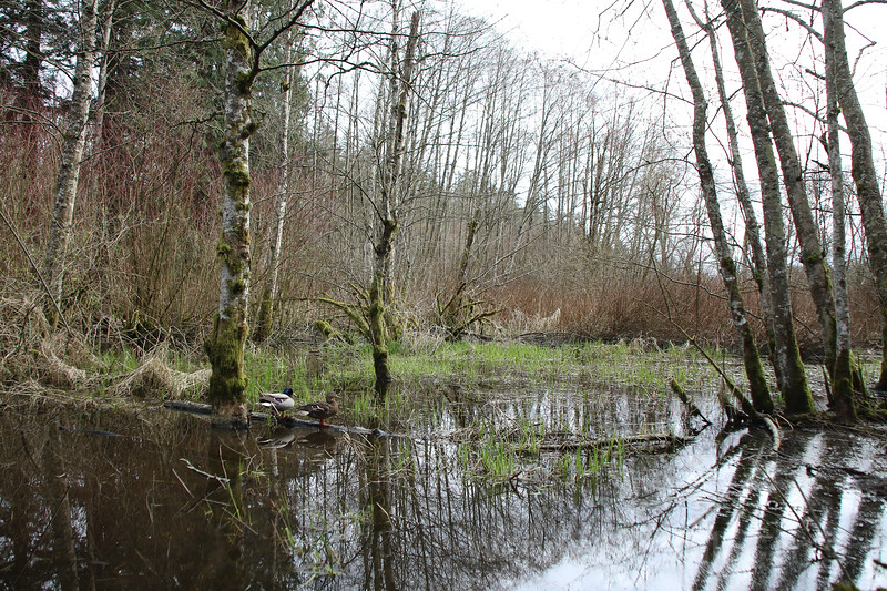 Marshy woodlands of a west coast forest