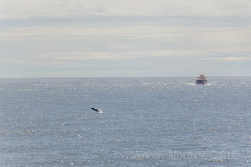 Humback whale plays in the Pacific Ocean off the west coast of Vancouver Island