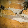 Birchbark found during visit famous PEI Green Gables Heritage Place and Cavendish