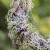 Two types of moss and lichen growing on the forest trees of the beautiful PEI countryside
