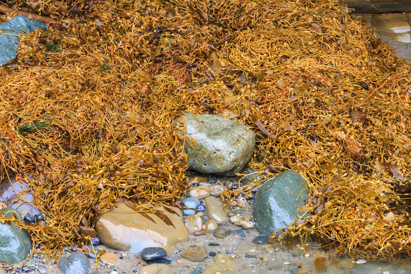 Kelp covers the rocky shoreline on coast of southern California
