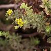 Yellow buds burst on a coastal sage bush on the coastal lands of Cabrillo National Monument.