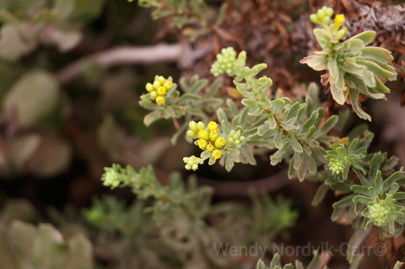Yellow buds burst on a coastal sage on the coastal lands of Cabrillo National Monument.