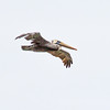 A brown pelican soars along the southern California coastline.