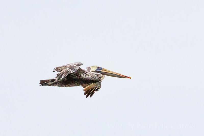 A brown pelican soars along the southern California coastline.