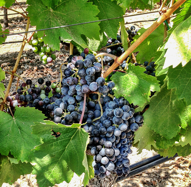 View Grapes growing in Napa Valley, California