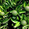 Growing limes in Napa Valley, California