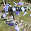 Blue flowers - Utah's most scenic route from Moab to Bryce Canyon