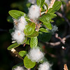 Parker Ridge Hike<br /> Not sure what this plant is, but I like the contrast of the white fluff against the green leaves.