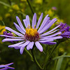 Bow Falls Trail, Banff Townsite: Showy Aster on the Bow Falls Trail.
