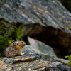 """All this pika needs is a sign that says """"Will pose for food!"""""""