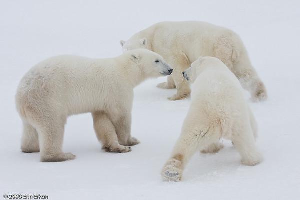 Day 6 - Bears on the Tundra