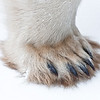 Take a look at junior's paw!  And he's not even 2 years old yet.