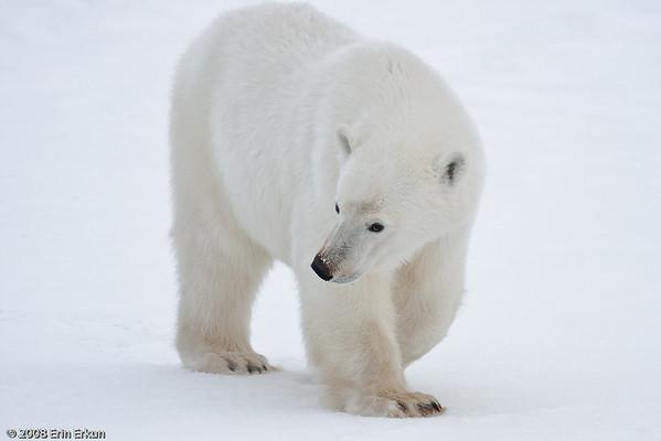 Day 7 - Bears on the Tundra