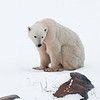 Poor mum - she looks like she's starving.  Life on the tundra has not been easy for her this year.