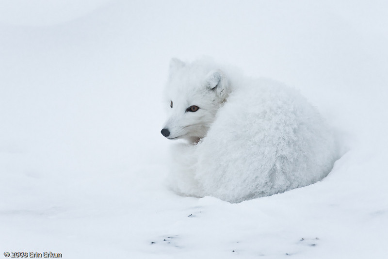 We ended yesterday with an Arctic fox; we start today with another Arctic fox.  Since we're so close to the TBL, I wonder if this is the same fox that has been making regular visits during nightly lectures.
