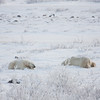 Here's a closer look at the bears the day-trippers are watching.