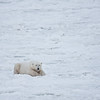 Our second sighting is of a bear resting on the ice ...