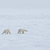The first bears we see this morning are out on the ice, testing its thickness.