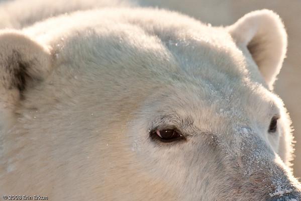 Day 8 - Bears on the Tundra
