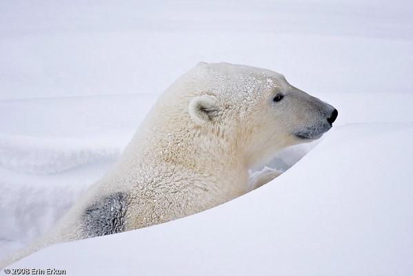 Day 5 - Bears on the Tundra