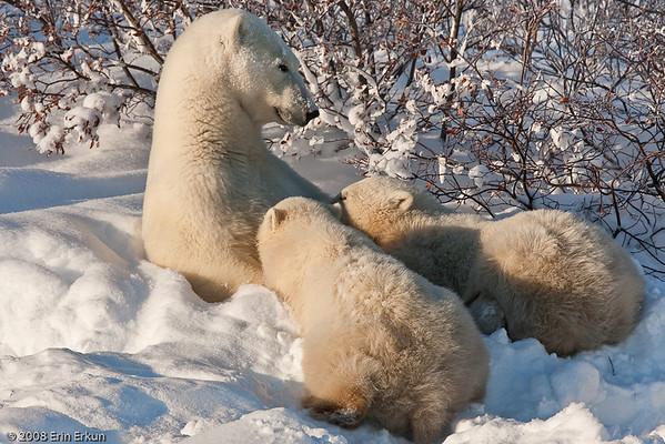 Nursing and Cubs at Play
