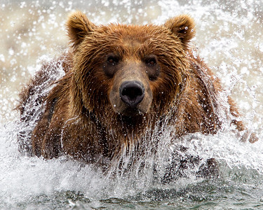 It can be pretty intense when a grizzly bear is coming right at you even when you are sure all he wants is a fish in the water.