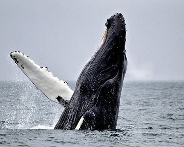 And if you're lucky a humpback whale breaching.