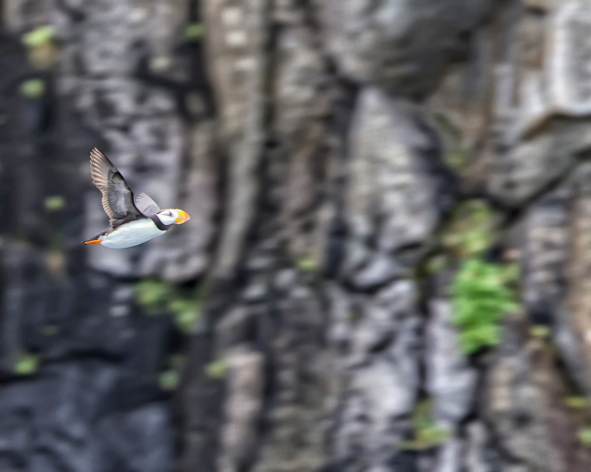 Puffins look pretty funny when they fly